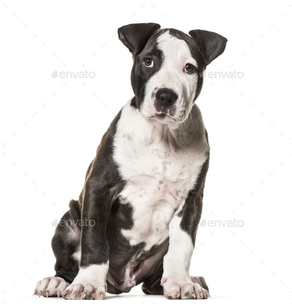 American Staffordshire Terrier puppy, 3 months old, sitting against white  background