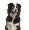 Border Collie dog, 2 years old, sitting against white background - PhotoDune Item for Sale