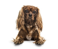 Cavalier King Charles Spaniel , 1 year old, lying against white background - PhotoDune Item for Sale