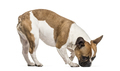 French Bulldog , 3 years old, standing against white background - PhotoDune Item for Sale