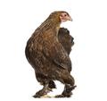Brahma hen, standing against white background - PhotoDune Item for Sale