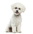 Bichon Frise dog sitting against white background - PhotoDune Item for Sale