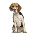 Beagle dog , 2 years old, sitting against white background - PhotoDune Item for Sale