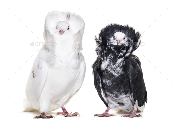 Black and white Jacobin pigeons in portrait against white background - Stock Photo - Images