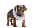 Dachshund dog, 2 months old, standing against white background - PhotoDune Item for Sale