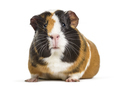 Guinea Pig , 1 year old, lying against white background - PhotoDune Item for Sale