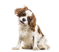 Cavalier King Charles Spaniel, 19 months old, sitting against white background - PhotoDune Item for Sale