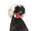 Dutch Rooster against white background - PhotoDune Item for Sale