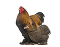 Brahma hen and rooster, standing against white background - PhotoDune Item for Sale
