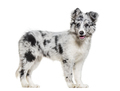 Young Border Collie dog looking at camera against white background - PhotoDune Item for Sale