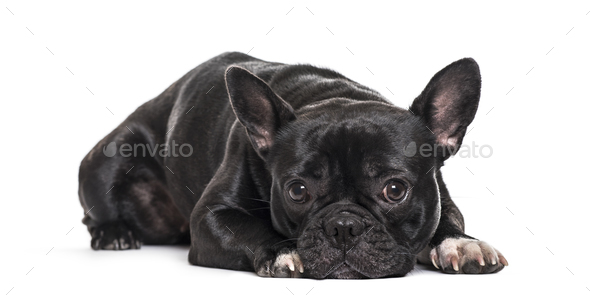 French Bulldog , 1.5 years old, lying against white background - Stock Photo - Images