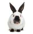 Russian rabbit sitting against white background - PhotoDune Item for Sale