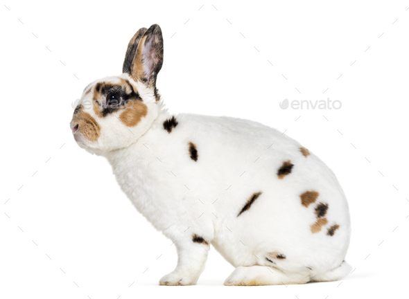 Rex Dalmatian Rabbit, sitting against white background - Stock Photo - Images