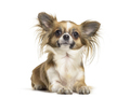 Chihuahua dog , 2 years old, lying against white background - PhotoDune Item for Sale