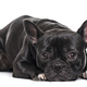French Bulldog , 1.5 years old, lying against white background - PhotoDune Item for Sale