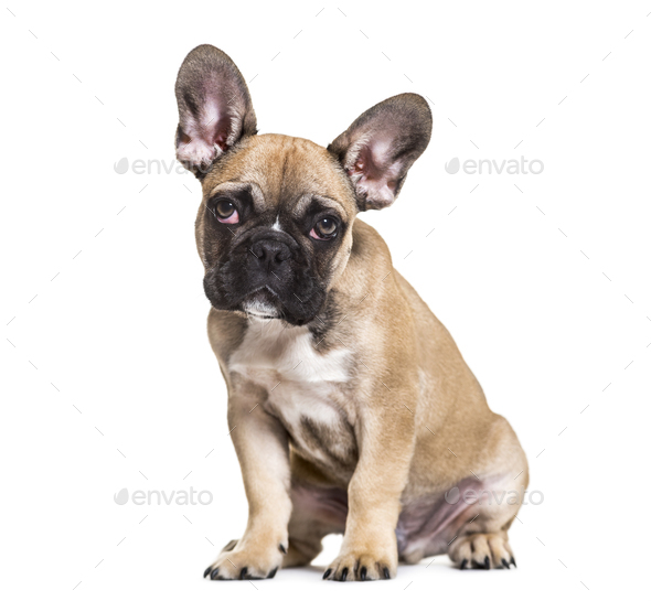 French Bulldog, 5 months old, sitting against white background - Stock Photo - Images