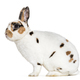 Rex Dalmatian Rabbit, sitting against white background - PhotoDune Item for Sale