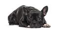 French Bulldog , 1.5 years old, lying against white background - PhotoDune Item for Sale