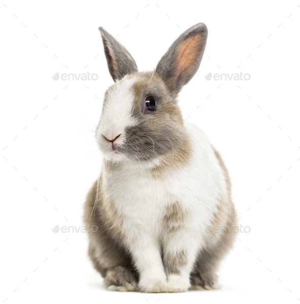 Rabbit , 4 months old, sitting against white background - Stock Photo - Images