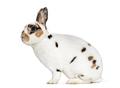 Rex Dalmatian Rabbit, sitting against white background - PhotoDune Item for Sale