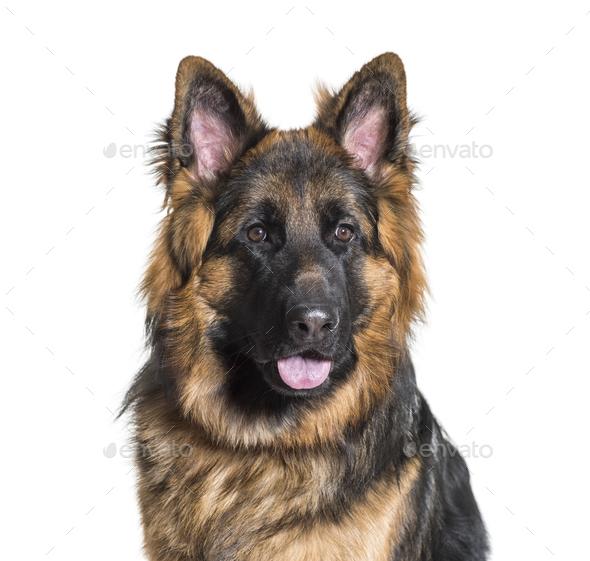 German Shepherd dog against white background - Stock Photo - Images