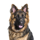 German Shepherd dog against white background - PhotoDune Item for Sale