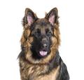German Shepherd dog against white background - PhotoDune Item for Sale