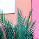 plants on pink. Palm outdoors. Tropical minimal vibes - PhotoDune Item for Sale