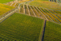 Aerial drone image of a vineyard in yellow, late afternoon lights - PhotoDune Item for Sale