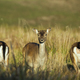 Three female of Fallow deer (Dama dama) - PhotoDune Item for Sale