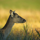 Portrait of female Fallow Deer (Dama dama) - PhotoDune Item for Sale