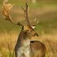 Portrait of male Fallow deer (Dama dama) in autumn - PhotoDune Item for Sale