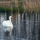 white swan - PhotoDune Item for Sale