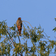 red footed falcon in the tree - PhotoDune Item for Sale