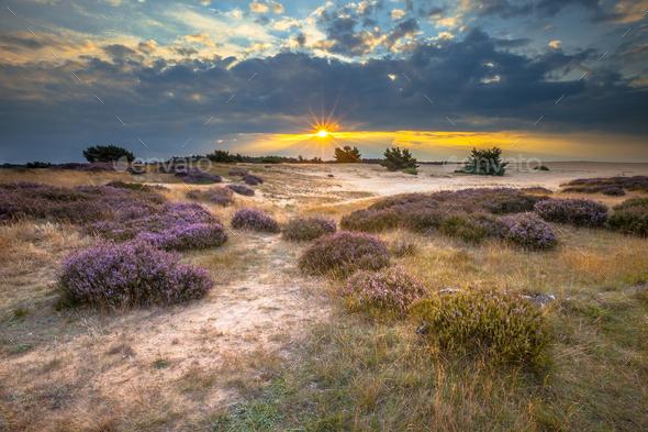 Veluwe Sunset over heathland with Heath - Stock Photo - Images