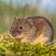 Bank vole in backyard grass field - PhotoDune Item for Sale