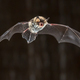 Flying Natterers bat at night - PhotoDune Item for Sale