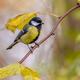 Garden bird Great tit yellow autumn leaves - PhotoDune Item for Sale