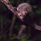 Beech marten on branch at night - PhotoDune Item for Sale