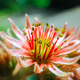Sempervivum plant during flowering - PhotoDune Item for Sale