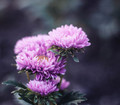 dahlia with dark background - PhotoDune Item for Sale