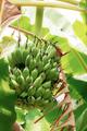 Banana of raw on tree - PhotoDune Item for Sale