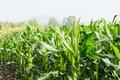 Corn tree in farm at sunlight - PhotoDune Item for Sale