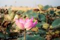 Pink of lotus in summer - PhotoDune Item for Sale