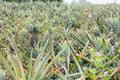 Pineapple of farmland in summer - PhotoDune Item for Sale