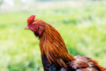 Chicken in farm at countryside - PhotoDune Item for Sale