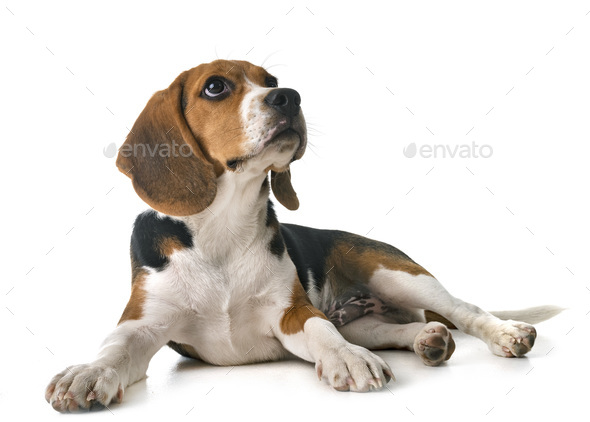 puppy beagle in studio - Stock Photo - Images