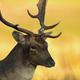Closeup of the head of the bulk of fallow deer (Dama dama) - PhotoDune Item for Sale