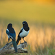 Two magpies (pica pica) on a tree trunk - PhotoDune Item for Sale