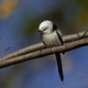 Long-tailed tit (Aegithalos caudatus) - PhotoDune Item for Sale